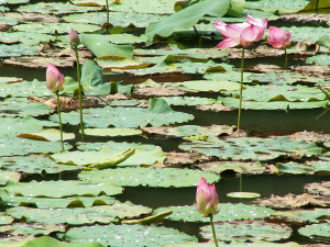 Lotus Flowers (Courtesy of echoparkcool.com)